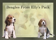 Beagles From Elly's Pack
