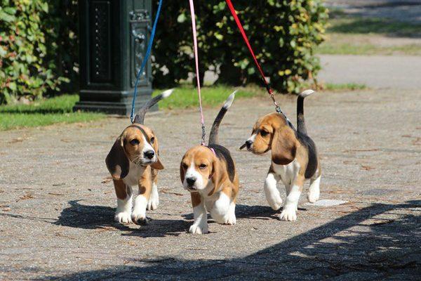 beagle1022